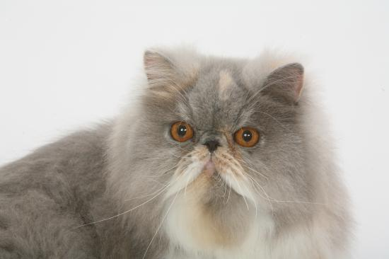 Championne Bella Cat Harina De La Côte D'Albâtre