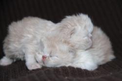 Iyeti (marque blanche sur le dos) et Isidor : 2 mâle crème et blanc : VENDUS TOUS LES 2