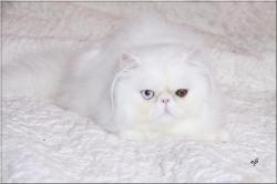 HYLANDER DE L'AMOUR DE CHAT. Partit à la Chatterie AMORE CATS. Merci Véronique pour votre confiance