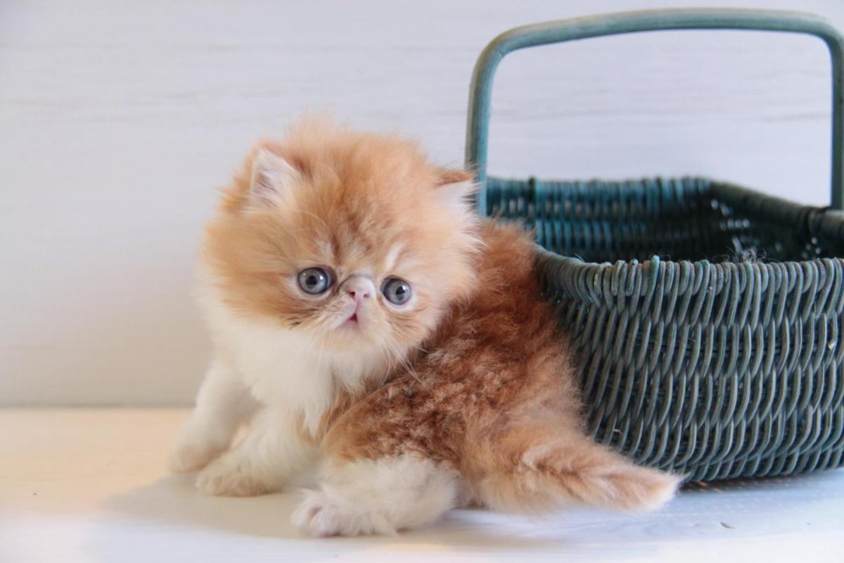 """""""JUSTE LE PETIT PRINCE DE L'AMOUR DE CHAT"""" dit """"JUJU"""" - Adorable petit mâle roux et blanc - VENDU"""