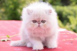 Isidor de l'Amour de chat. Mâle crème et blanc. RESERVE