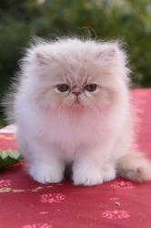 Iyeti De L'Amour de Chat, mâle crème et blanc, marque blanche sur le dos. VENDU